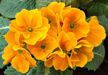 Sárga kankalin