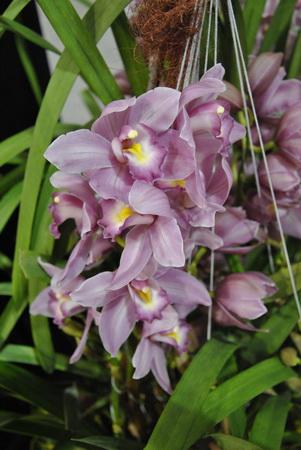 Cymbidium vagyis csónakorchidea fajta