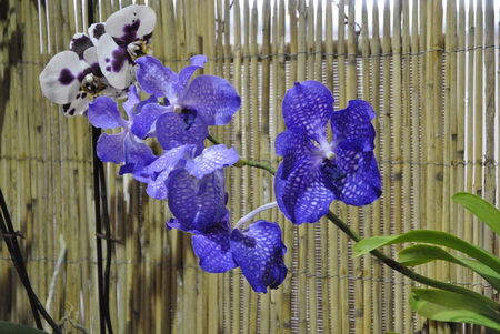 Wanda orchidea