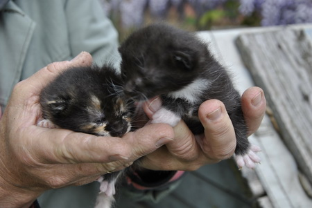 Ajándékba ingyen elvihető kiscicák