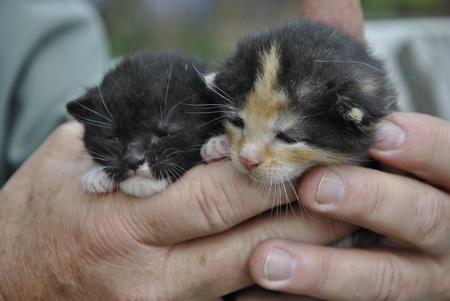 Fekete-fehér-barna-ajándék-kiscicák ingyen elvihetők!