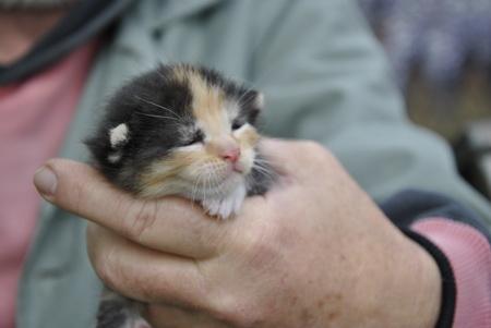 Fekete-barna-fehér kiscica ingyen ajándékba elvihető